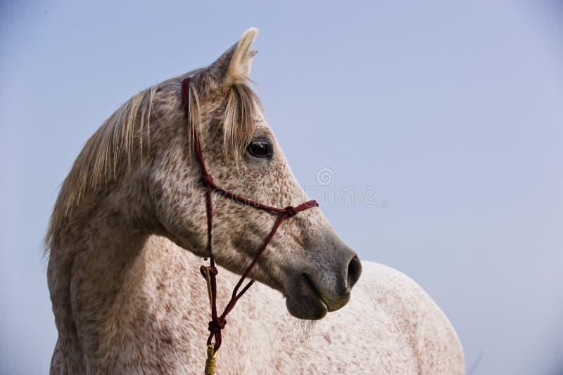 Retrato de un caballo árabe imágenes de archivo libres de regalías