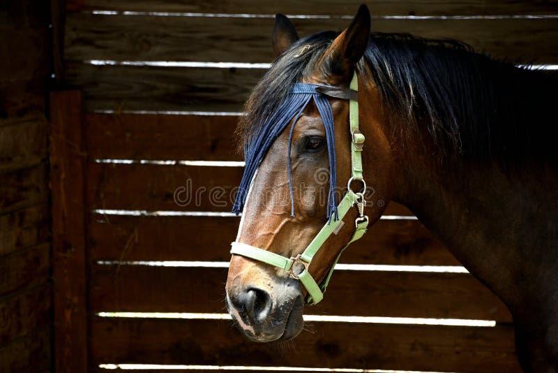 Retrato de un caballo árabe anglo de Cerdeña foto de archivo libre de regalías