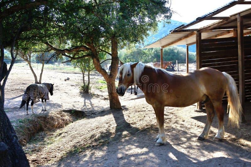 Retrato de un caballo avellinese con la melena rubia en un prado de un montar a caballo fotografía de archivo