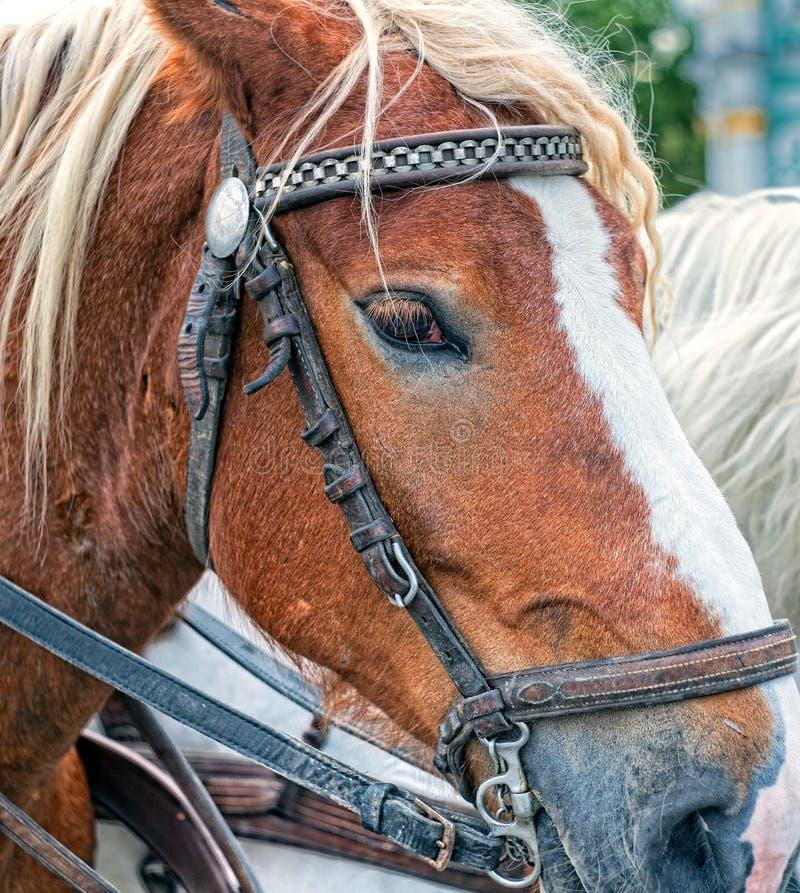 Retrato de un caballo de bahía con un arnés imagen de archivo libre de regalías