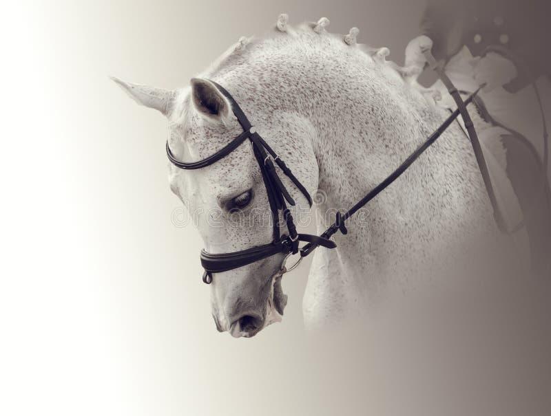 Retrato de un caballo blanco fotografía de archivo