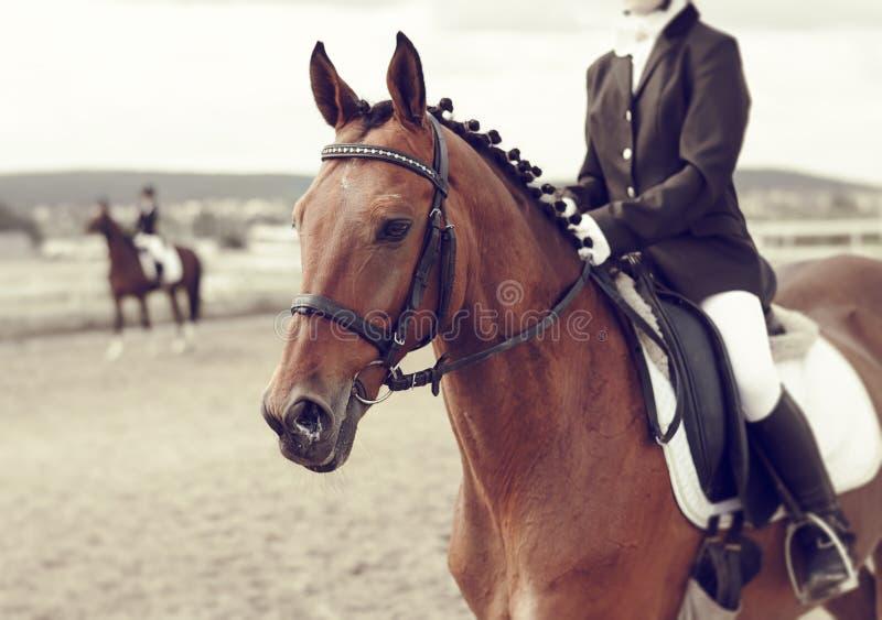 Retrato de un caballo en la competencia imagen de archivo