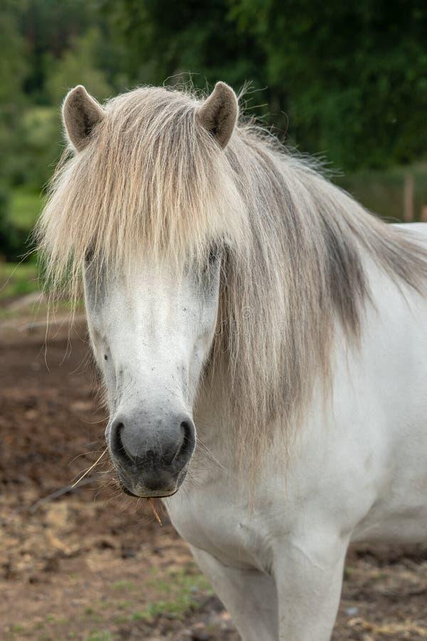 Retrato de un caballo islandés blanco con la melena gris larga imagenes de archivo