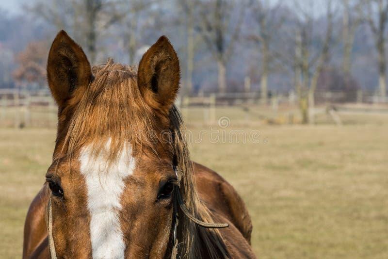 Retrato de un caballo marr?n y blanco fotos de archivo