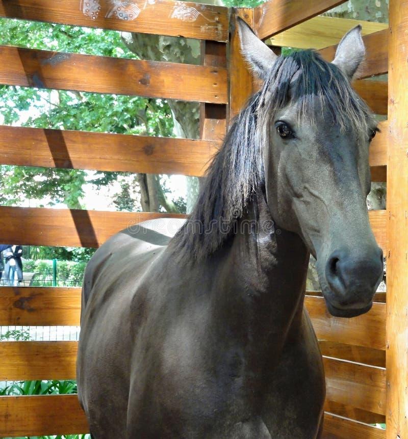 Retrato de un caballo puro de la raza fotografía de archivo