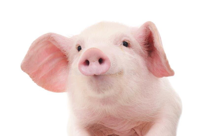 Retrato de un cerdo fotografía de archivo