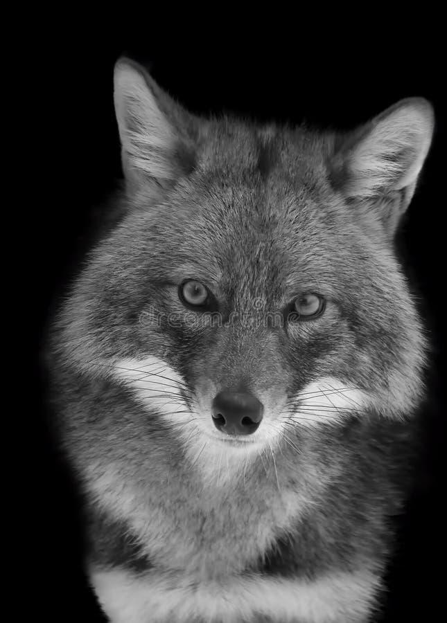 Retrato de un chacal en blanco y negro foto de archivo libre de regalías