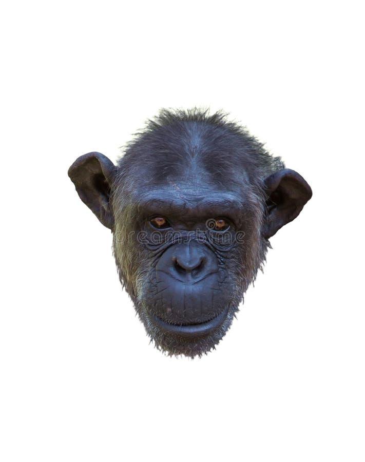 Retrato de un chimpancé fotos de archivo libres de regalías