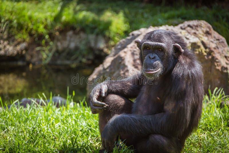Retrato de un chimpancé imagen de archivo