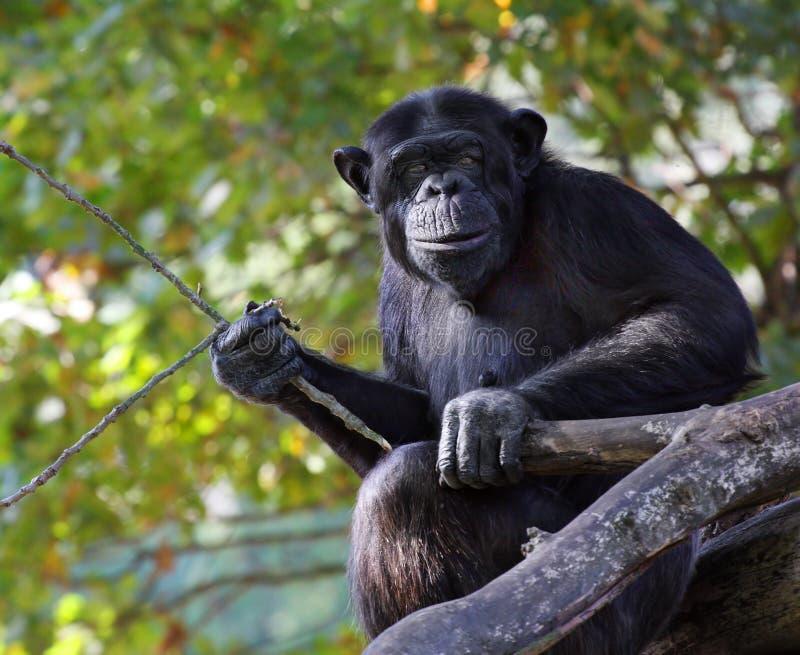 Retrato de un chimpancé adulto fotos de archivo