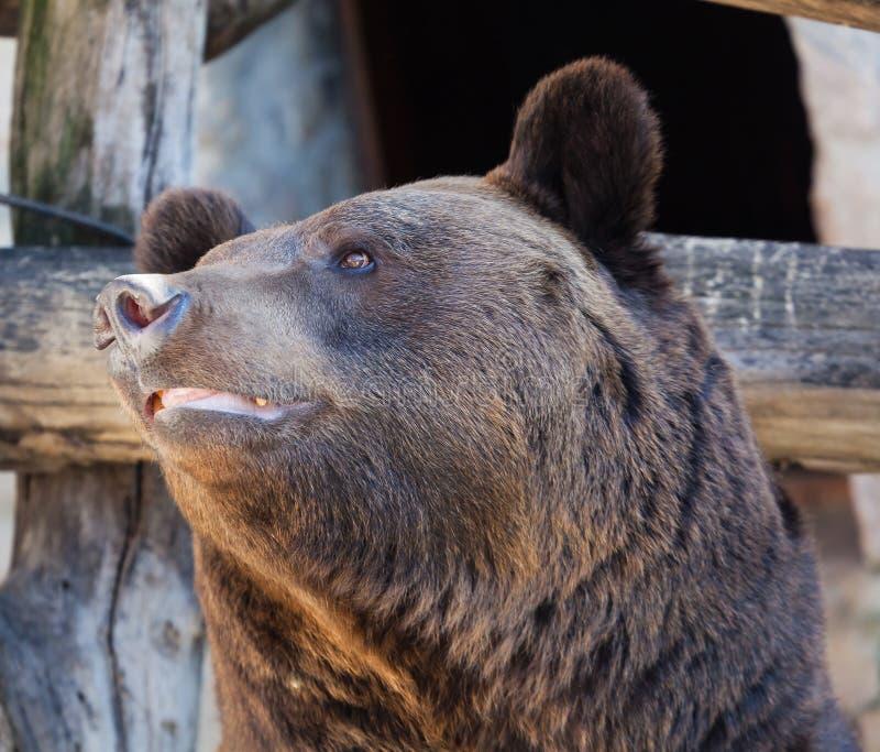 Retrato de un cierre del oso marrón fotografía de archivo