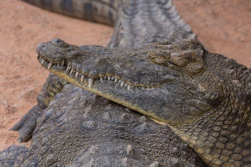 Retrato de un cocodrilo fotos de archivo libres de regalías