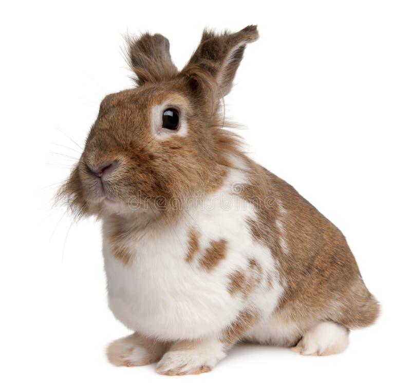 Retrato de un conejo europeo, cuniculus del Oryctolagus fotos de archivo