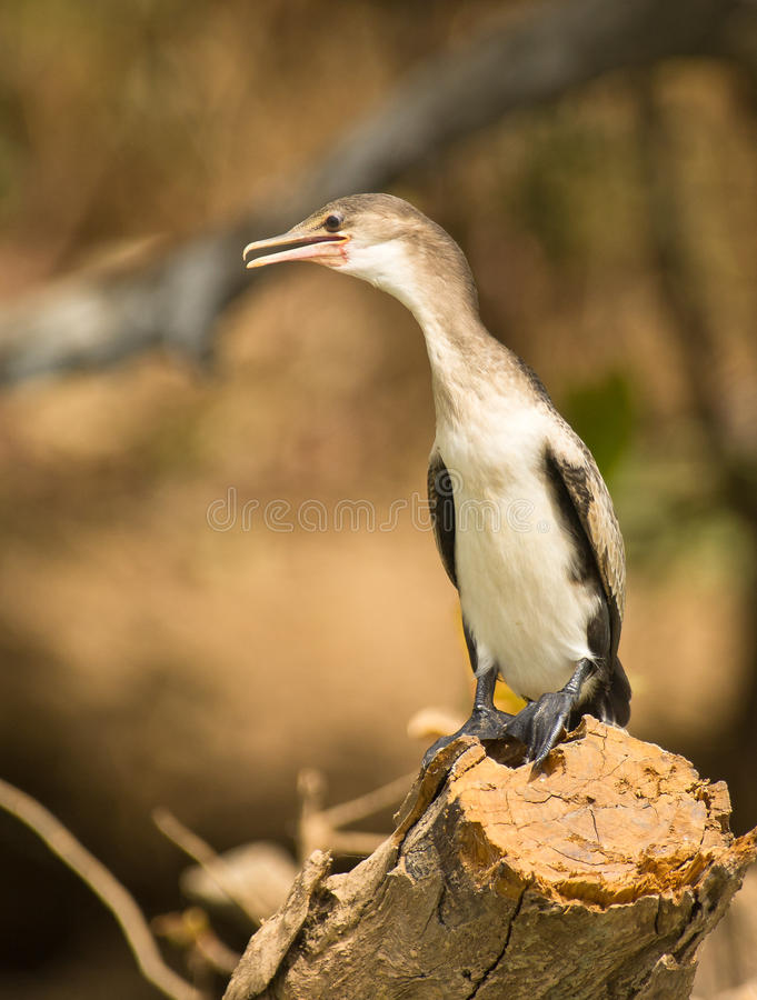 Retrato de un cormorán Long-tailed juvenil imagen de archivo