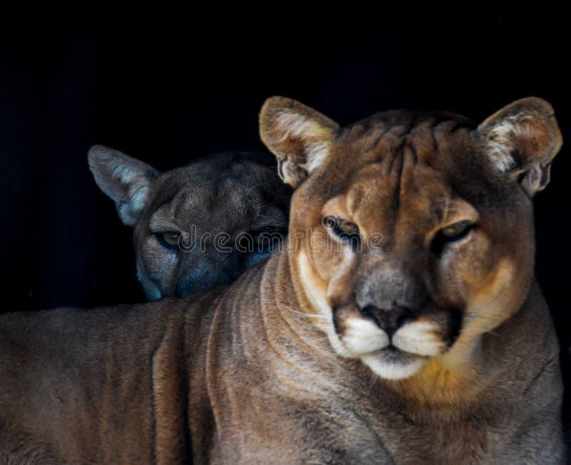 Retrato de un Cougar cautivo también conocido como Puma en un zoológico de Sudáfrica imagen de archivo libre de regalías