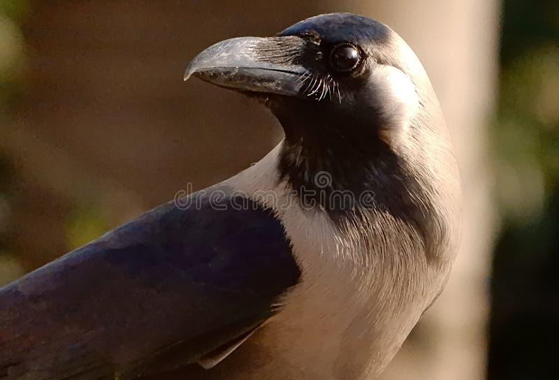Retrato de un cuervo común imagen de archivo libre de regalías
