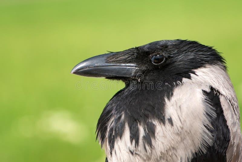 Retrato de un cuervo encapuchado, cornix del Corvus Cierre para arriba fotografía de archivo