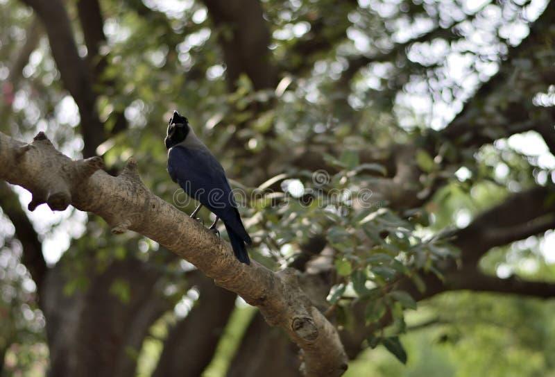 Retrato de un cuervo indio imágenes de archivo libres de regalías