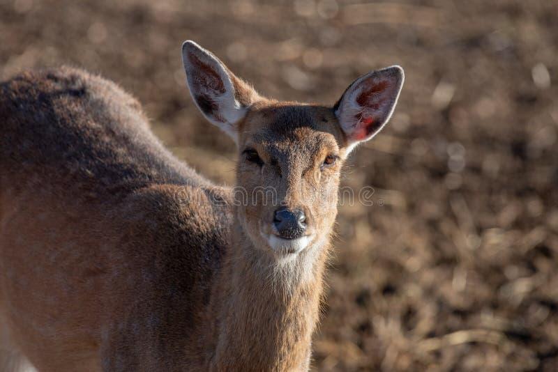 Retrato de un elaphus joven del Cervus de los ciervos comunes fotos de archivo