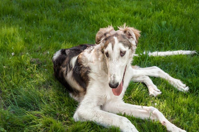 Retrato de un galgo ruso de la raza blanca grande del perro, mintiendo en un césped verde Primer fotos de archivo