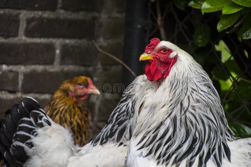 Retrato de un gallo blanco de Columbia Brahma Estos pollos se cr?an en Estados Unidos foto de archivo libre de regalías