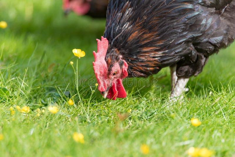 Retrato de un gallo hermoso en gras verdes imágenes de archivo libres de regalías