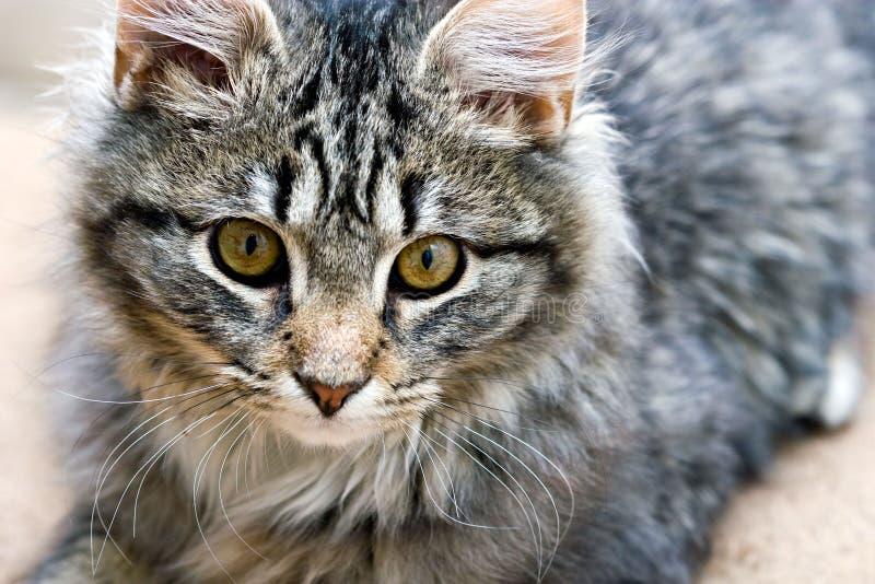 Retrato de un gatito adorable lindo del gato hermoso fotos de archivo