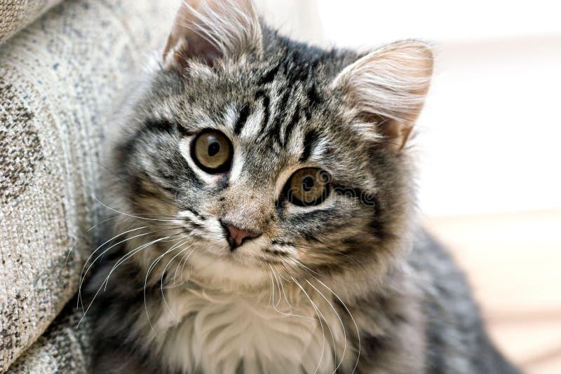 Retrato de un gatito adorable lindo del gato hermoso foto de archivo libre de regalías