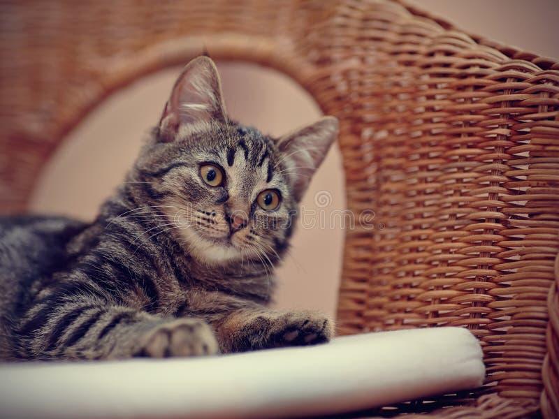 Retrato de un gatito nacional rayado en una silla de mimbre foto de archivo