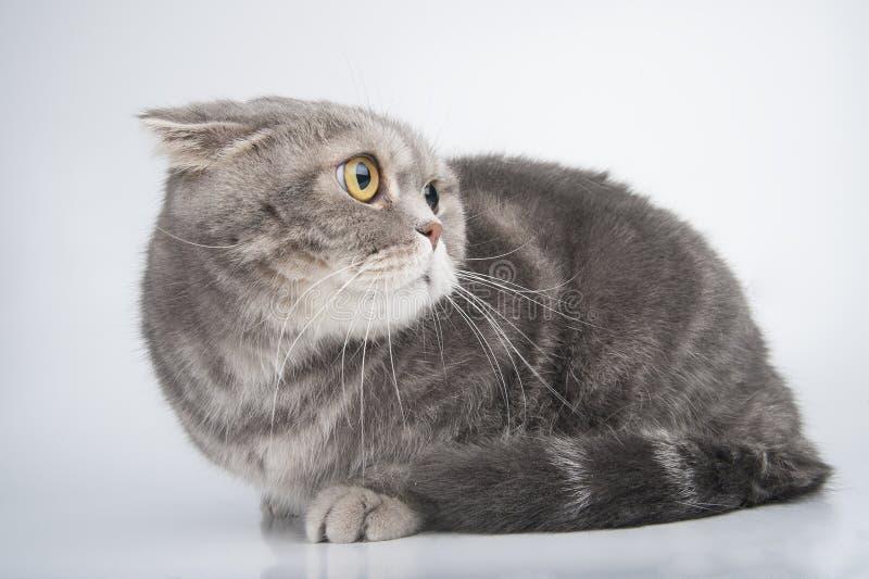 Retrato de un gato asustado Doblez del escocés de la raza foto de archivo libre de regalías