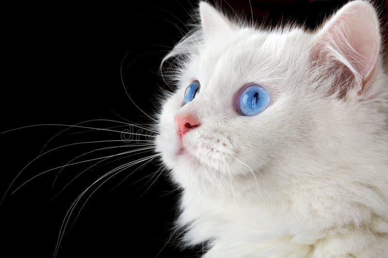Retrato de un gato blanco foto de archivo