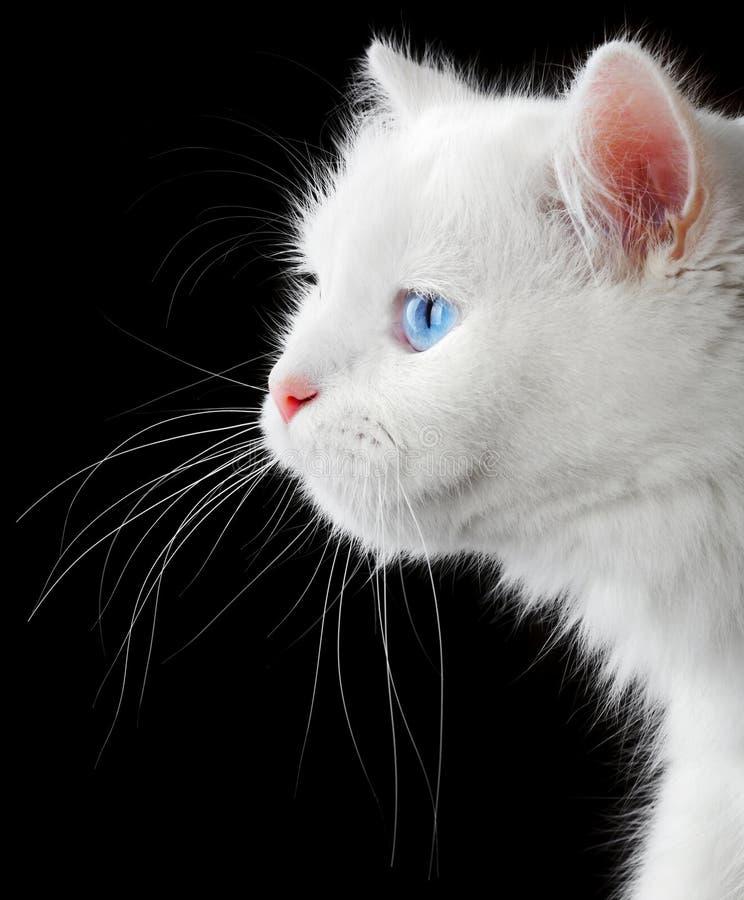 Retrato de un gato blanco fotografía de archivo