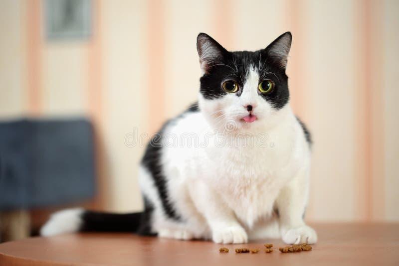 Retrato de un gato blanco y negro hermoso que se sienta en la tabla con la lengua sticked hacia fuera delante de pequeña pila de  imágenes de archivo libres de regalías