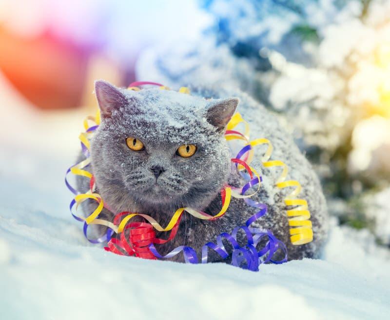 Retrato de un gato británico azul del shorthair enredado en flámula colorida imagen de archivo