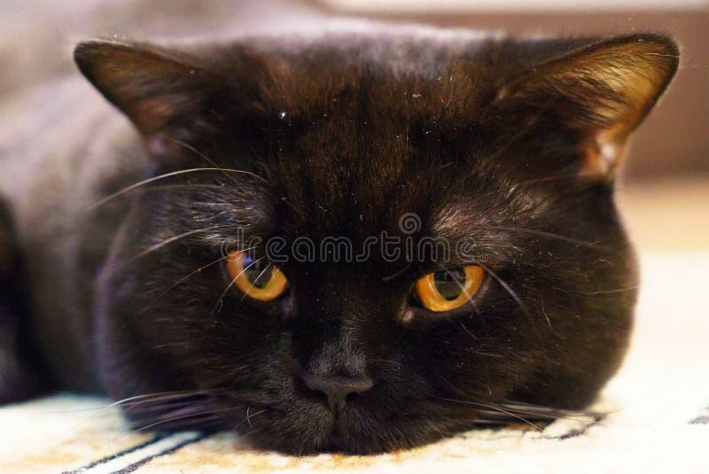 Retrato de un gato británico negro con los ojos anaranjados fotos de archivo libres de regalías
