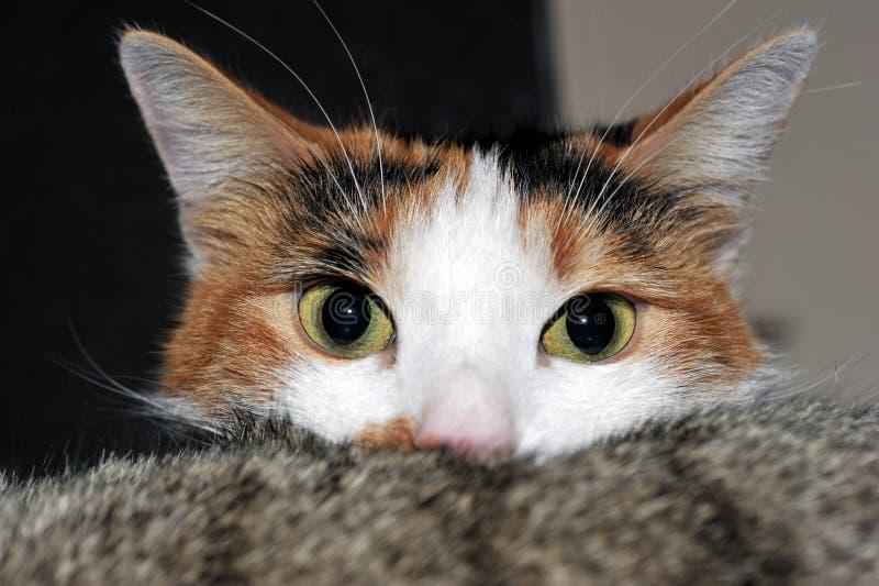 Retrato de un gato de calicó divertido imagenes de archivo