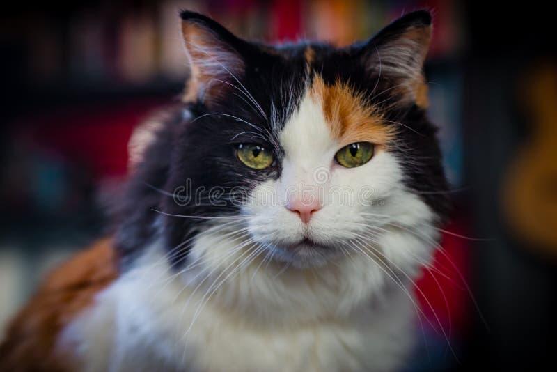 Retrato de un gato de calicó mayor fotografía de archivo