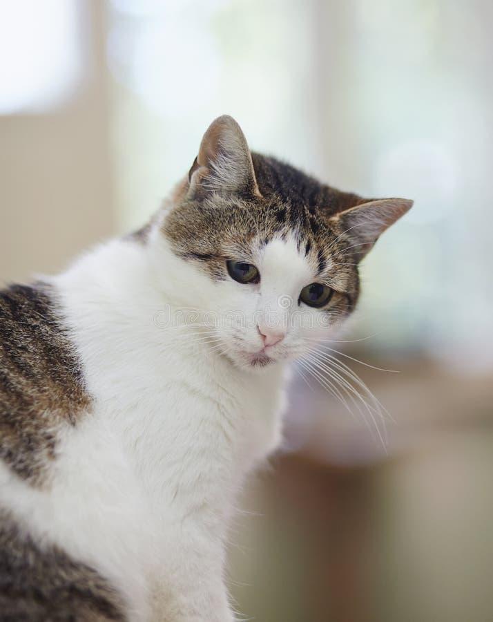 Retrato de un gato de un color blanco con los puntos rayados fotografía de archivo libre de regalías