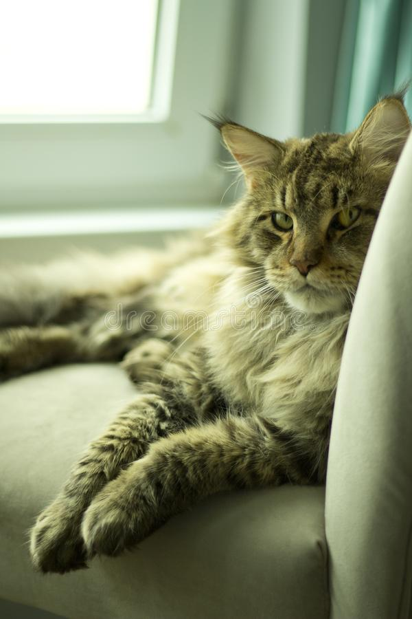 Retrato de un gato contrariedad que miente en una silla foto de archivo