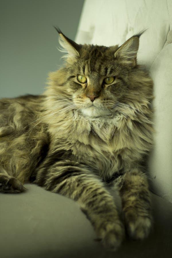Retrato de un gato contrariedad que miente en una silla imágenes de archivo libres de regalías