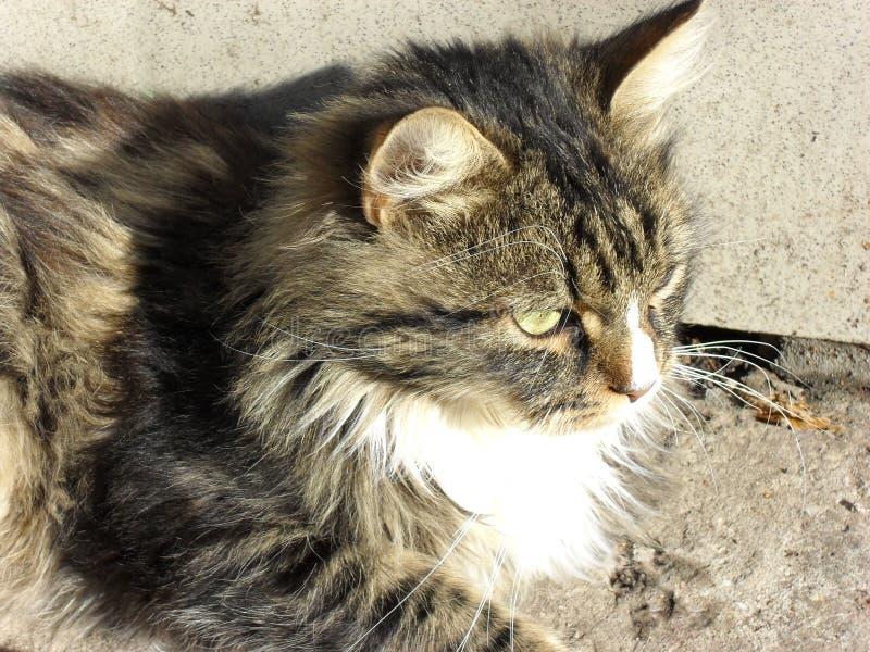 retrato de un gato mullido lindo adorable imagen de archivo libre de regalías