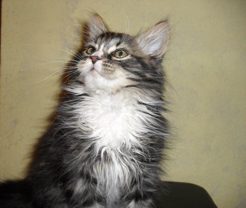 retrato de un gato mullido lindo adorable foto de archivo