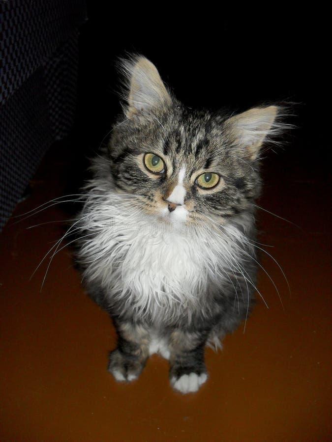 retrato de un gato mullido lindo adorable fotografía de archivo libre de regalías