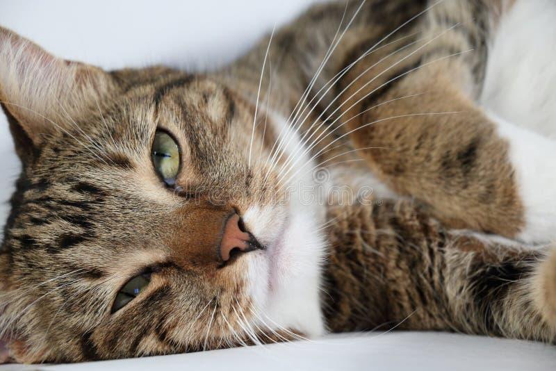 Retrato de un gato nacional perezoso foto de archivo libre de regalías