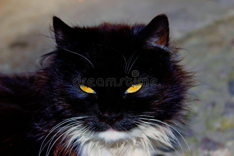 Retrato de un gato negro fotos de archivo