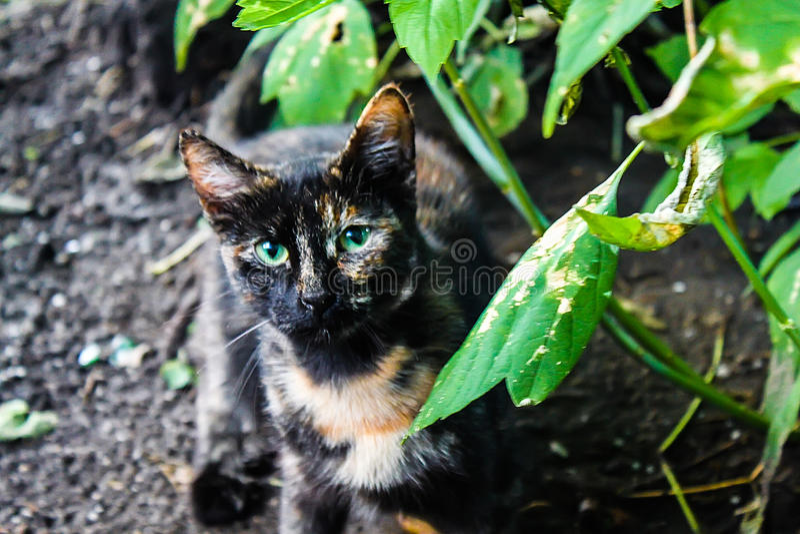 Retrato de un gato negro en la naturaleza en el verano, ojos tricolores, verdes imagen de archivo