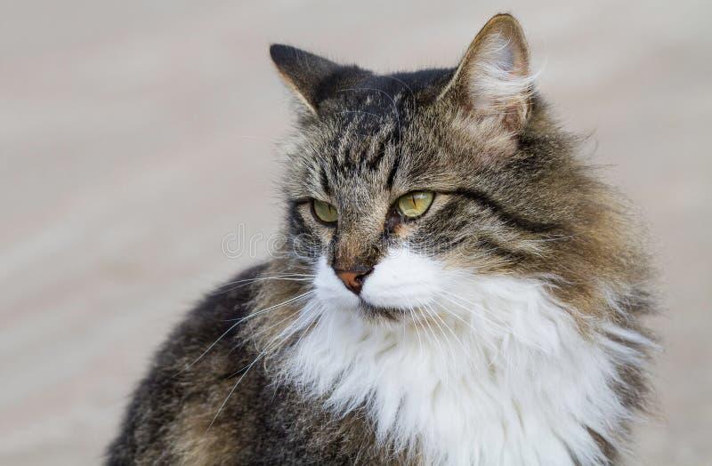 Retrato de un gato peludo precioso fotografía de archivo