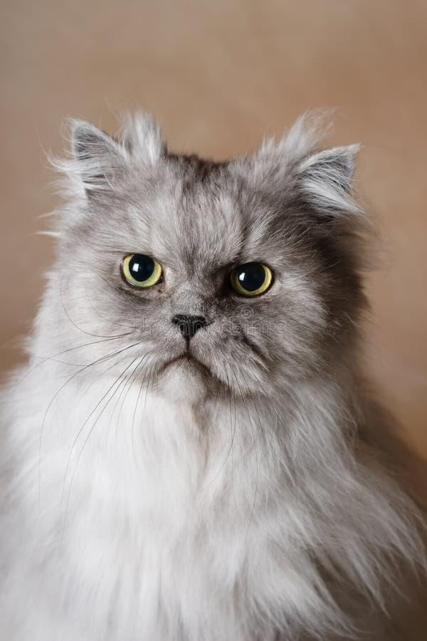 Retrato de un gato persa imagen de archivo libre de regalías