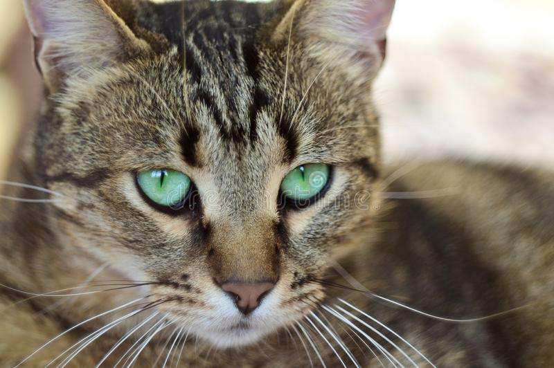 Retrato de un gato rayado gris con los ojos verdes en la calle Foco selectivo imagenes de archivo