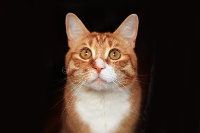 Retrato de un gato rojo imagen de archivo